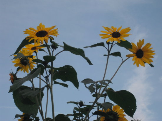 Sunflowers Bristol