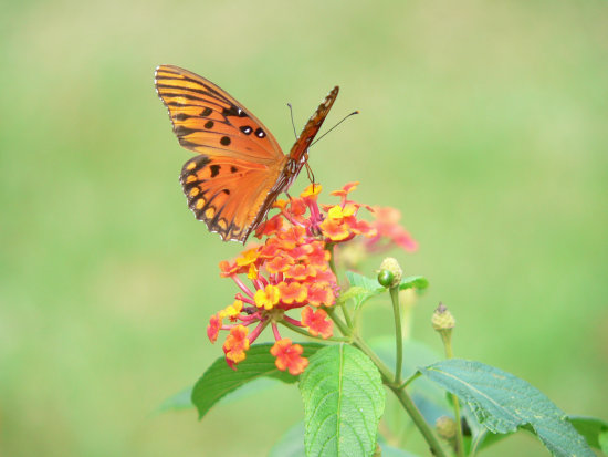 Nature Gulf Fritilary butterfly on Lantana flower