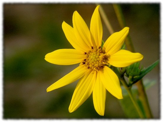 sunflower wildflower nature