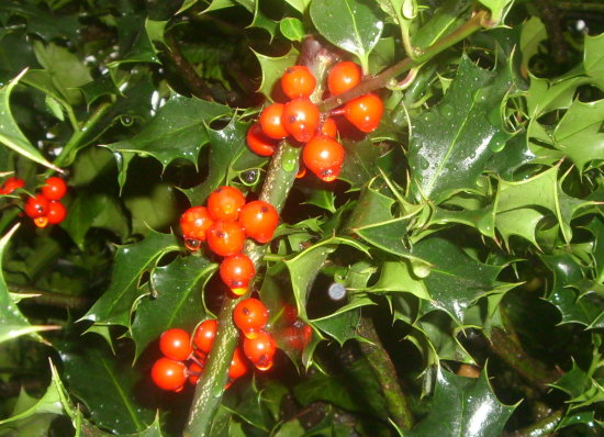 rain autumn red fruits holly