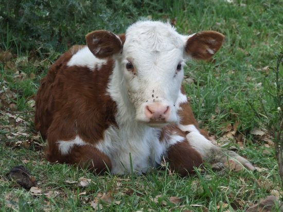rural cattle Hereford Illawarra Australia