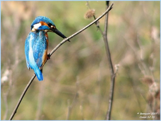 Another one from the archives...  Male Kingfisher