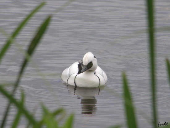 smew duck bird