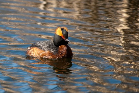 nature birds hornet grebe