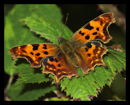Nature insect butterfly comma macro