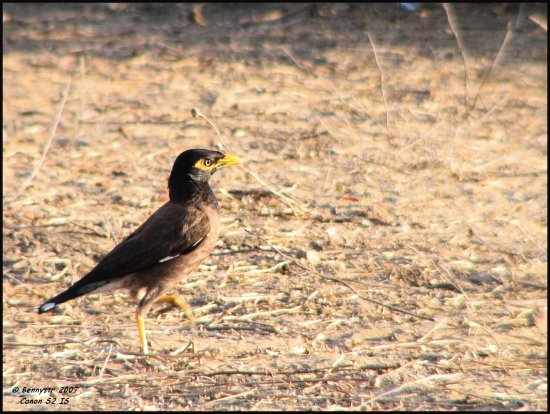 Common Myna