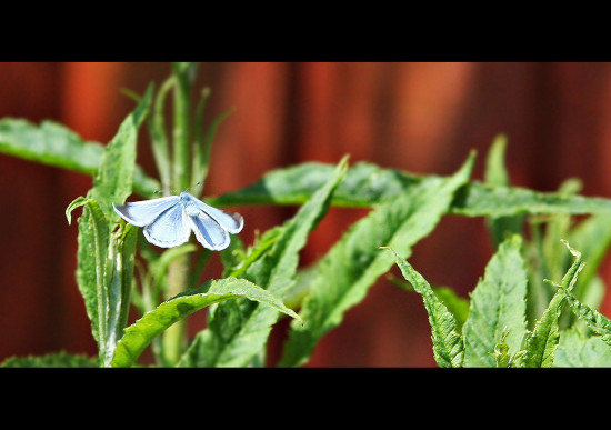 Holly Blue Butterfly May 2012