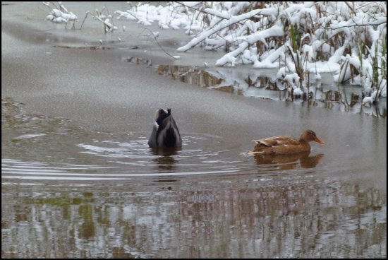 ducks winter holland