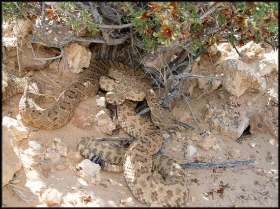 Grand Canyon rattlesnakes basking in the morning sun.