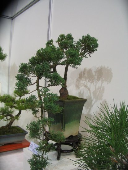 Bonsai Hungary janos