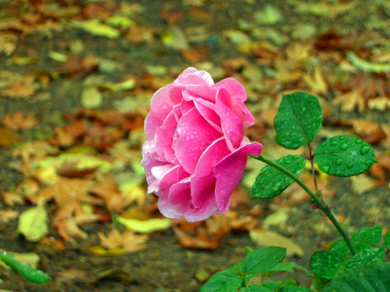 flower rose nature