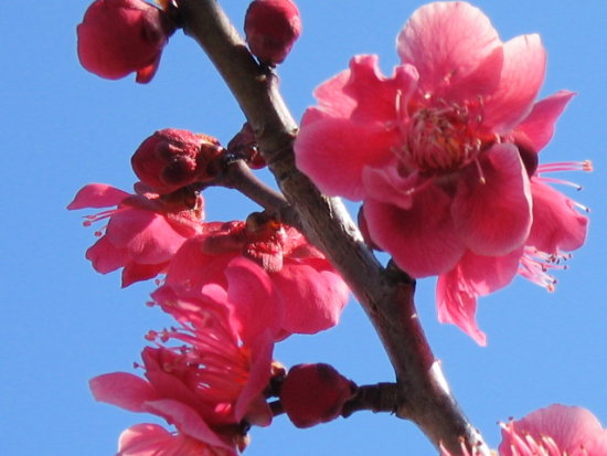flower of umepink Japanese apricot