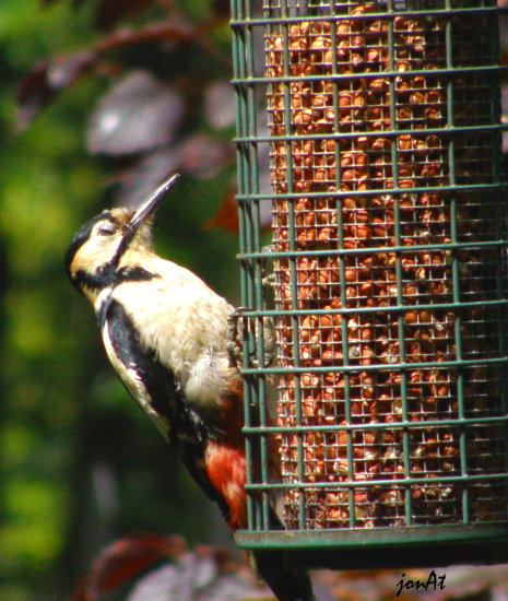 great spotted woodpecker bird nature wildlife
