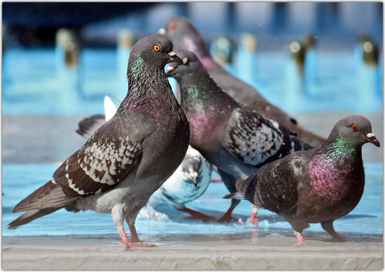 birds pigeon animals