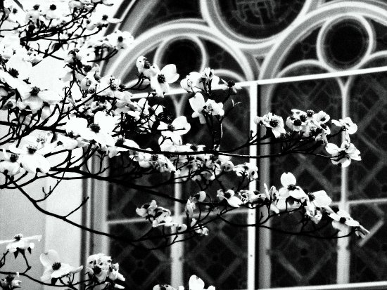 Dogwood at the Church of the Holy Communion