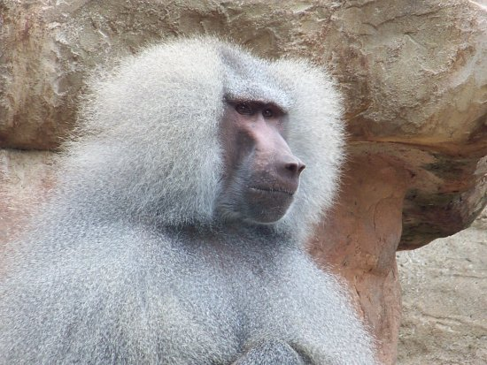 hamandryas baboon monkey troops social paignton zoo england uk