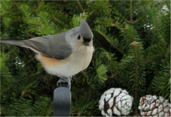 bird titmouse grey yard animal