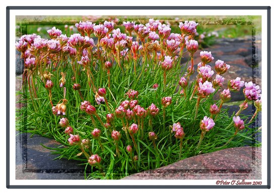 Thrift Sea Pink Flower Rocks Coast Laughtacallow Kerry Ireland Peter OSullivan