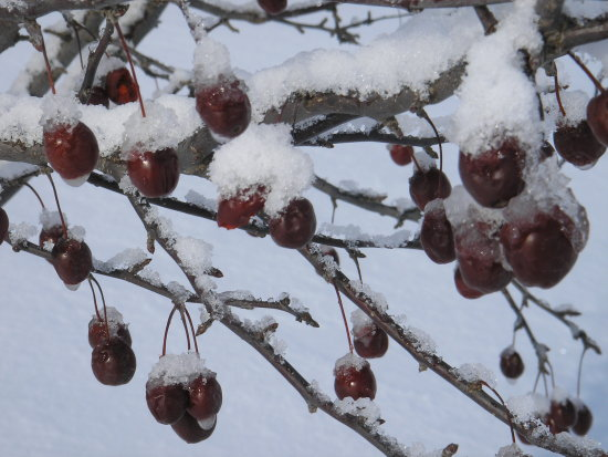winter red berries snow tree West Liberty Iowa Christmas