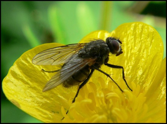 insect fly flower buttercup