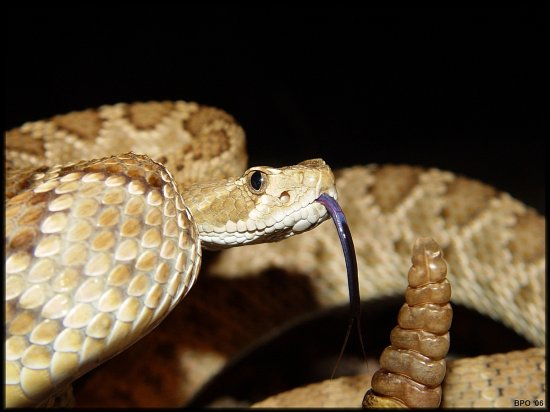 Male mojave rattlesnake in defensive posture