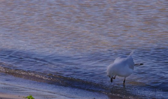 seagull river beach mandurah littleollie