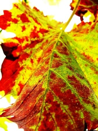 autumn leaves red green macro