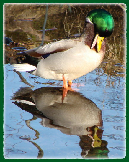 reflectionthursday mallard