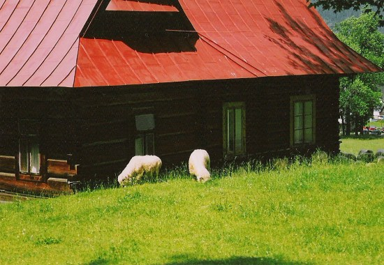 sheep in Zakopane, the main tourist town in the area of Polish Tatra mountains