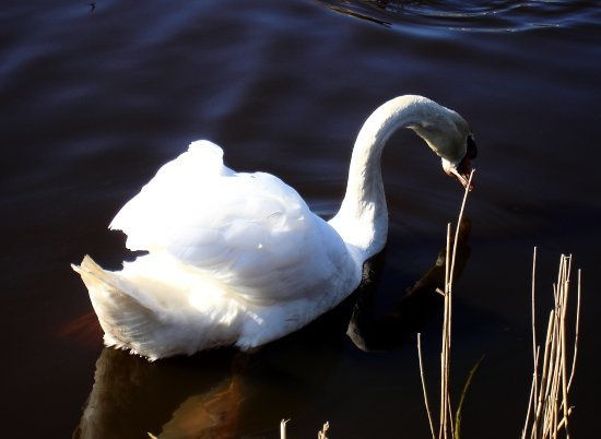 netherlands kinderdijk bird swan reflectionthursday nethx kindx birdx swanx