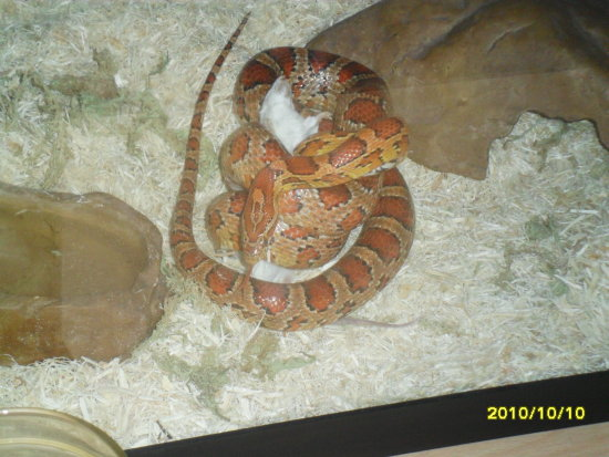 snake eating a frozen mouse