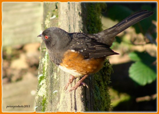 nature bird rufous sided towee