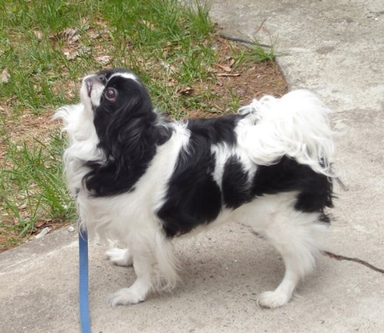 dog dogs japanese chin AKC Pets Ying Yang