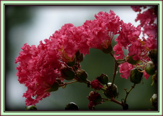 Crepe Myrtle along the sidewalk in my yard/lawn.