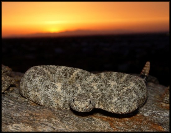 Speckled rattlesnake at sunset