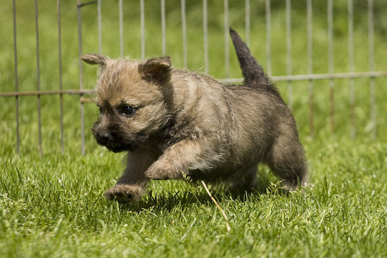 dog dogs cairn terrier