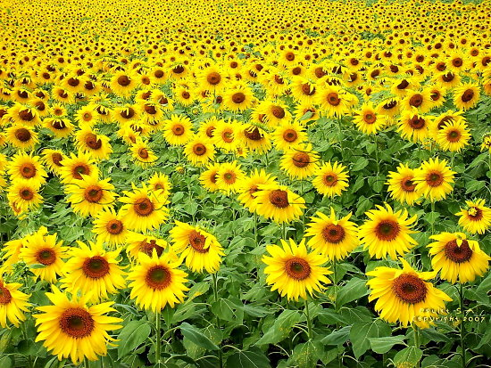 numbersfriday landscape thailand poulets 2007 nature sunflower flower