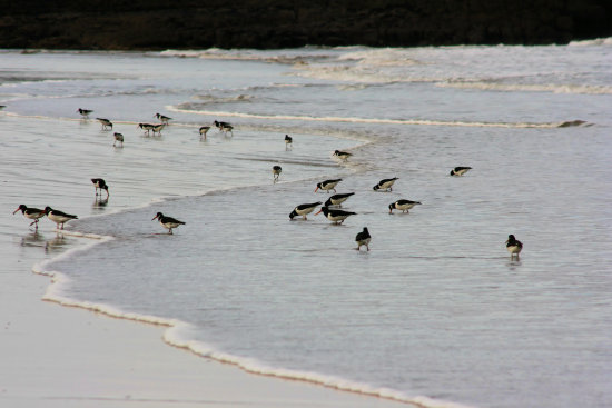scotland gullane sea beach birds carlsbirdclub oystercatchers