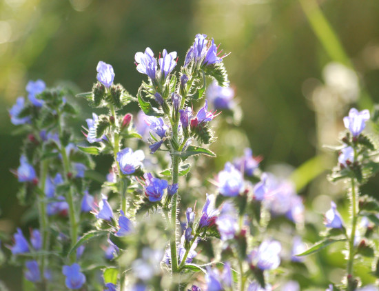 vipers bugloss wiltshire