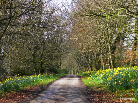 Lane daffodils trees