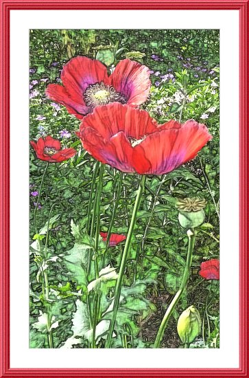 poppies flowers digitalartclub