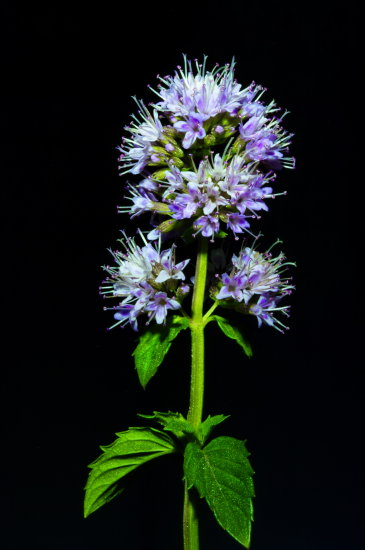 blooming mint closeup