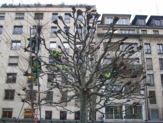 city planetree men climbing cutting