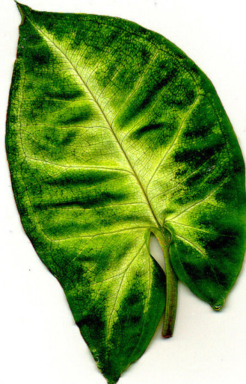 leaf using scanner