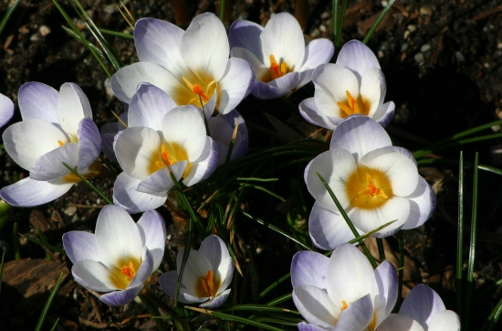 flowers spring crocus