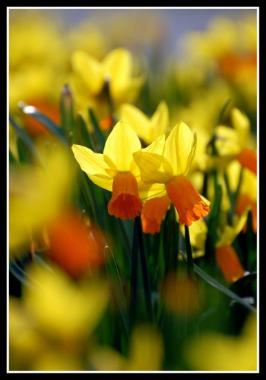 backlit daffodils flowers nature yellow yeovil somerset somersetdreams