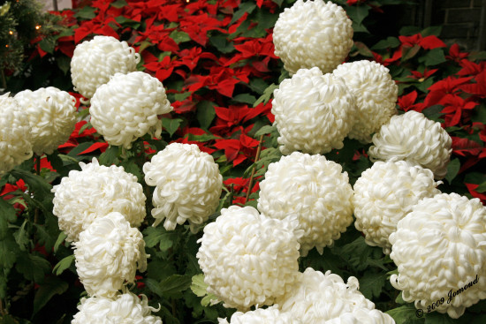 christmas flowers color 122009