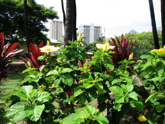 hibiscus in the park of near Waikiki