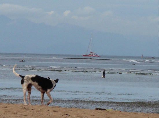 animal dogs stray beach bali littleollie