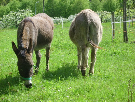 Thursday May Donkeys
